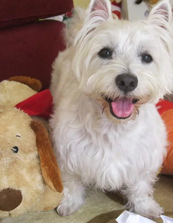 Westie   Pawsitively Unleashed Performance Canine Rehabilitation and Conditioning