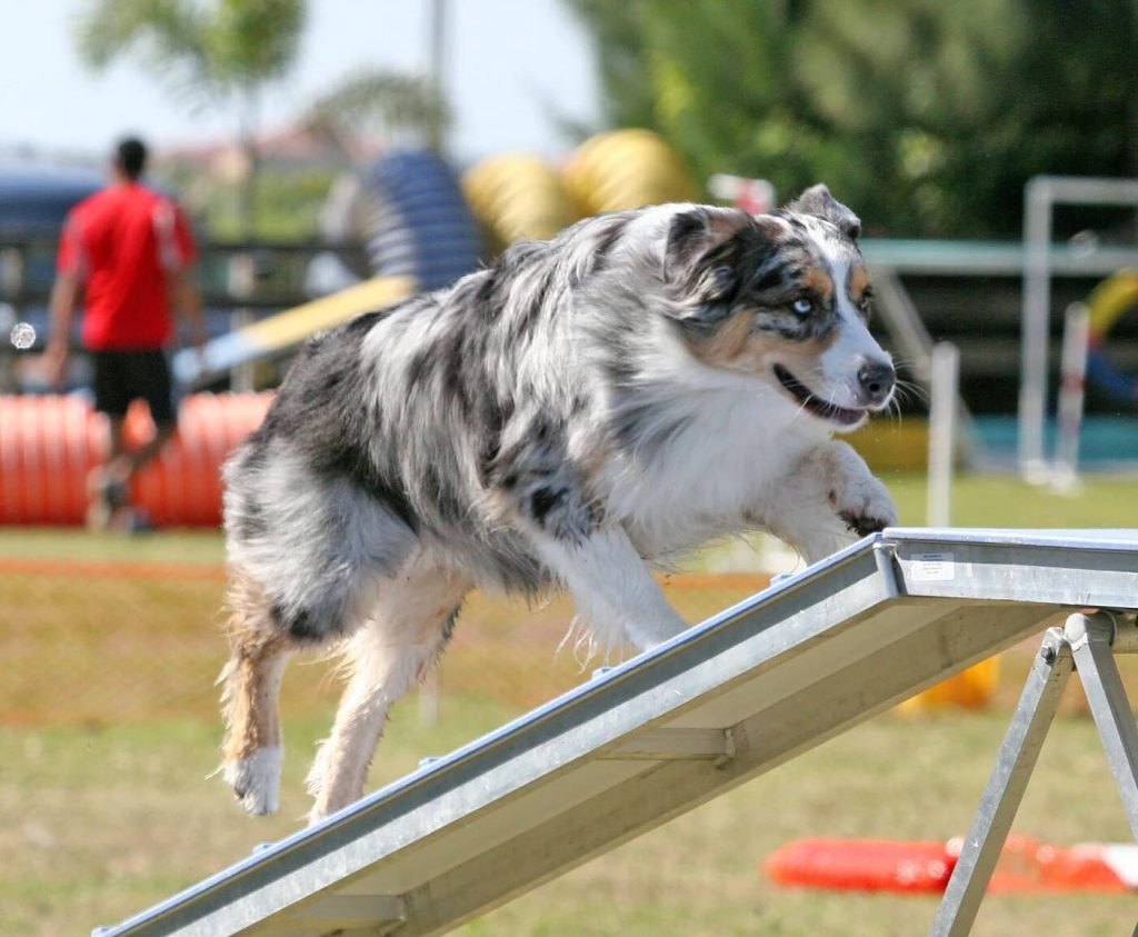 Dog Agility | Pawsitively Unleashed Performance Canine Rehabilitation and Conditioning