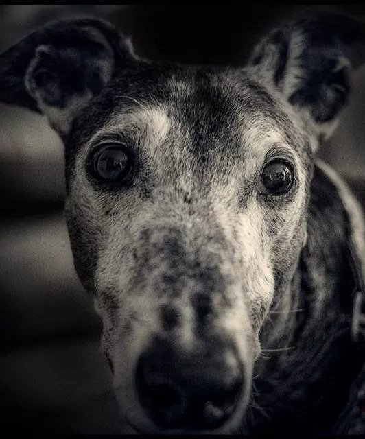 Greyhound   Pawsitively Unleashed Performance Canine Rehabilitation and Conditioning