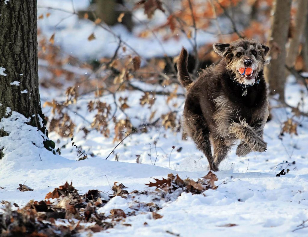 Dog in the Snow | Pawsitively Unleashed Performance Canine Rehabilitation and Conditioning