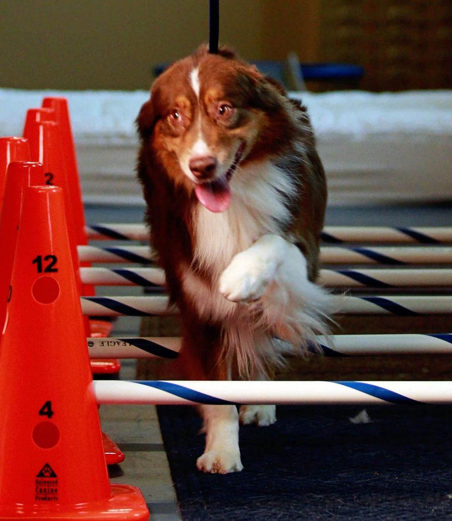 Dog Using Ladder | Pawsitively Unleashed Performance Canine Rehabilitation and Conditioning