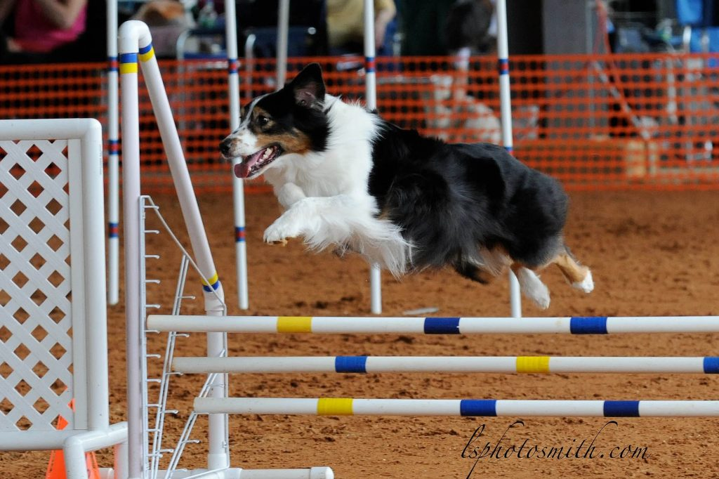 Dog Jumping | Pawsitively Unleashed Performance Canine Rehabilitation and Conditioning