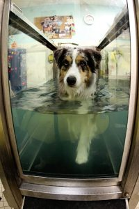 Dog Water Therapy   Pawsitively Unleashed Performance Canine Rehabilitation and Conditioning