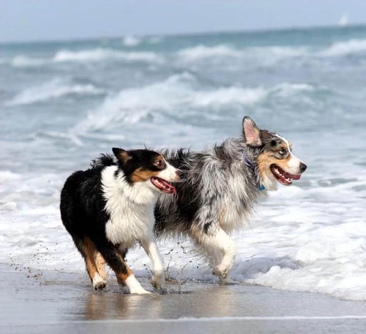 Two Dogs on the Beach | Pawsitively Unleashed Performance Canine Rehabilitation and Conditioning