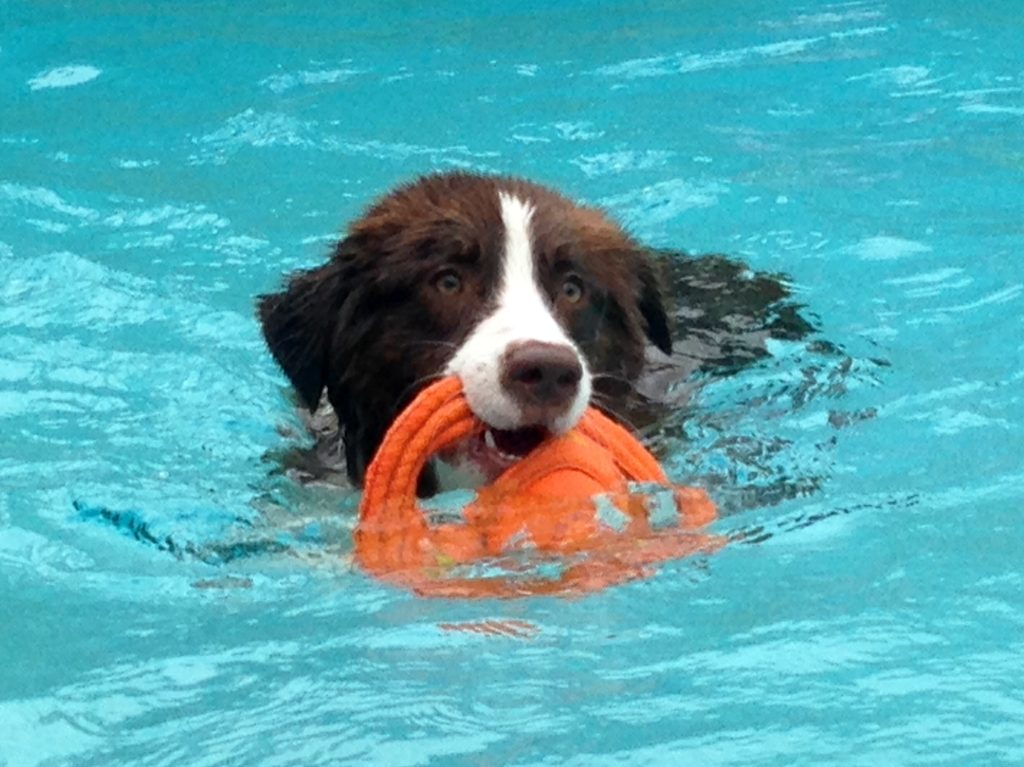 Swimming Dog | Pawsitively Unleashed Performance Canine Rehabilitation and Conditioning