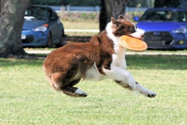 Dog Catching a Frisbee| Pawsitively Unleashed Performance Canine Rehabilitation and Conditioning