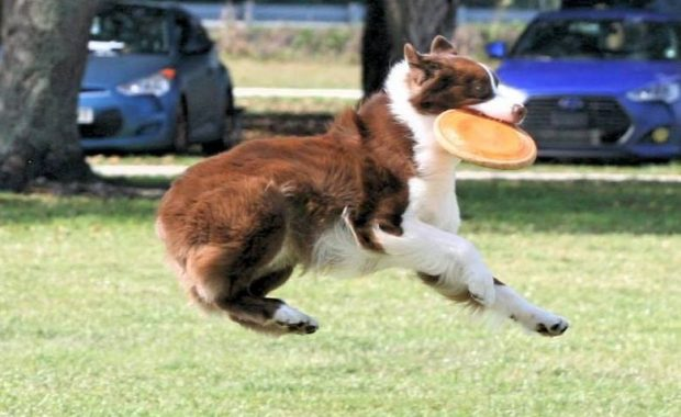 Dog Catching a Frisbee  Pawsitively Unleashed Performance Canine Rehabilitation and Conditioning