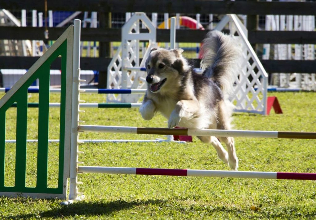 Dog Bar Jumping | Pawsitively Unleashed Performance Canine Rehabilitation and Conditioning