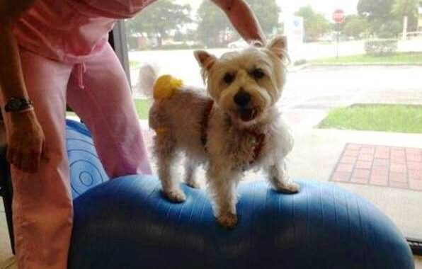 Westie Balancing   Pawsitively Unleashed Performance Canine Rehabilitation and Conditioning