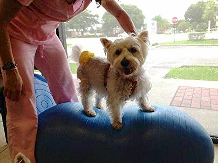 Westie Balancing | Pawsitively Unleashed Performance Canine Rehabilitation and Conditioning