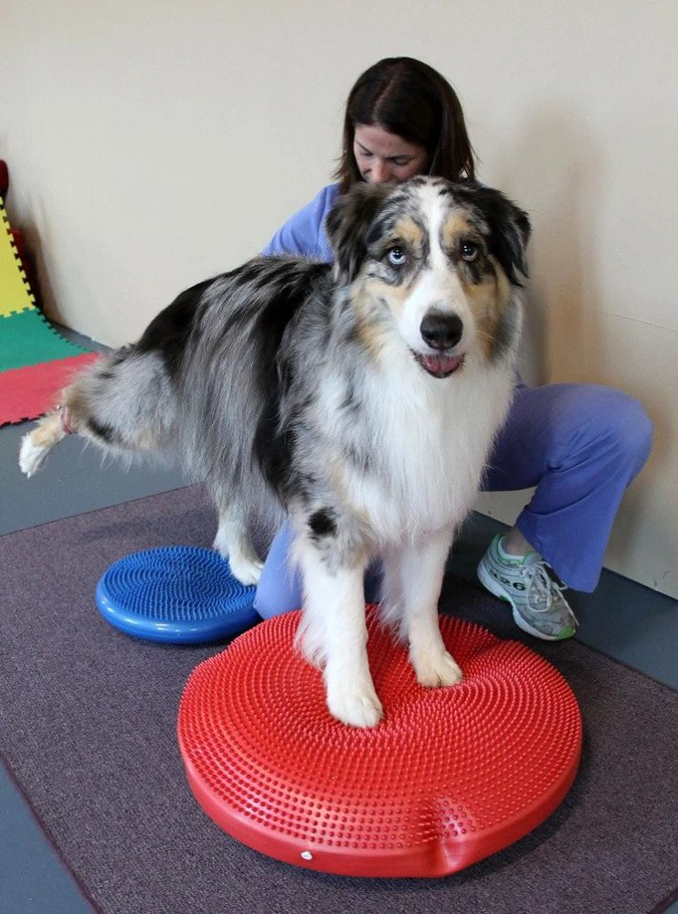 Canine Physical Therapy   Pawsitively Unleashed Performance Canine Rehabilitation and Conditioning