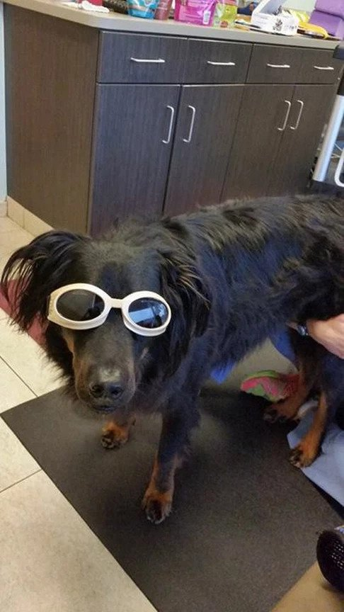 Pup in Doggles | Pawsitively Unleashed Performance Canine Rehabilitation and Conditioning