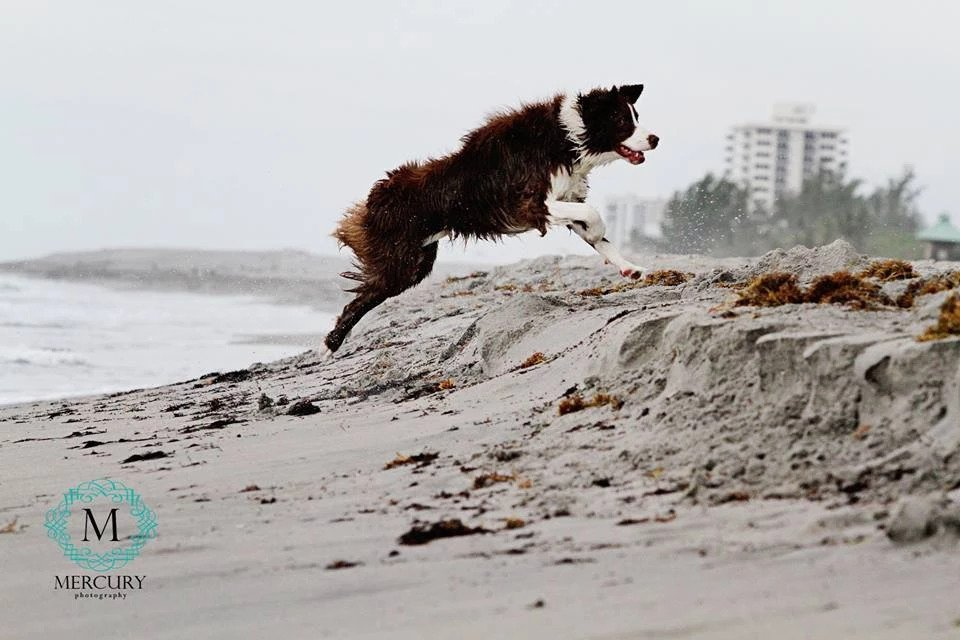Finn at the Beach | Pawsitively Unleashed Performance Canine Rehabilitation and Conditioning