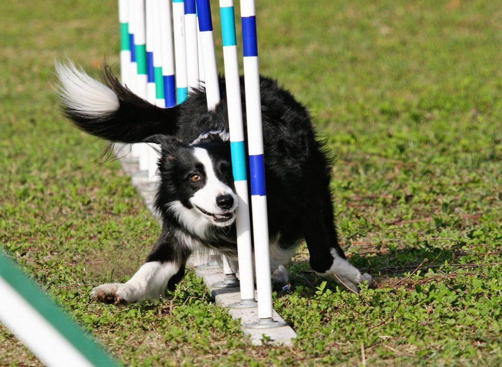 Border Collie Weave Poles | Pawsitively Unleashed Performance Canine Rehabilitation and Conditioning