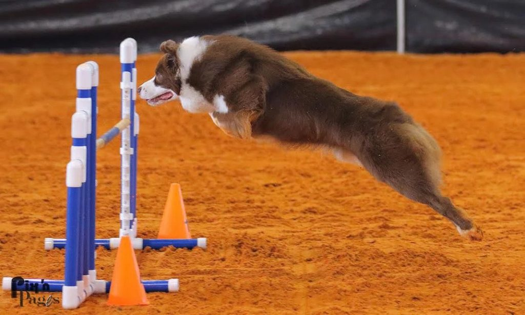 Finn Jumping | Pawsitively Unleashed Performance Canine Rehabilitation and Conditioning