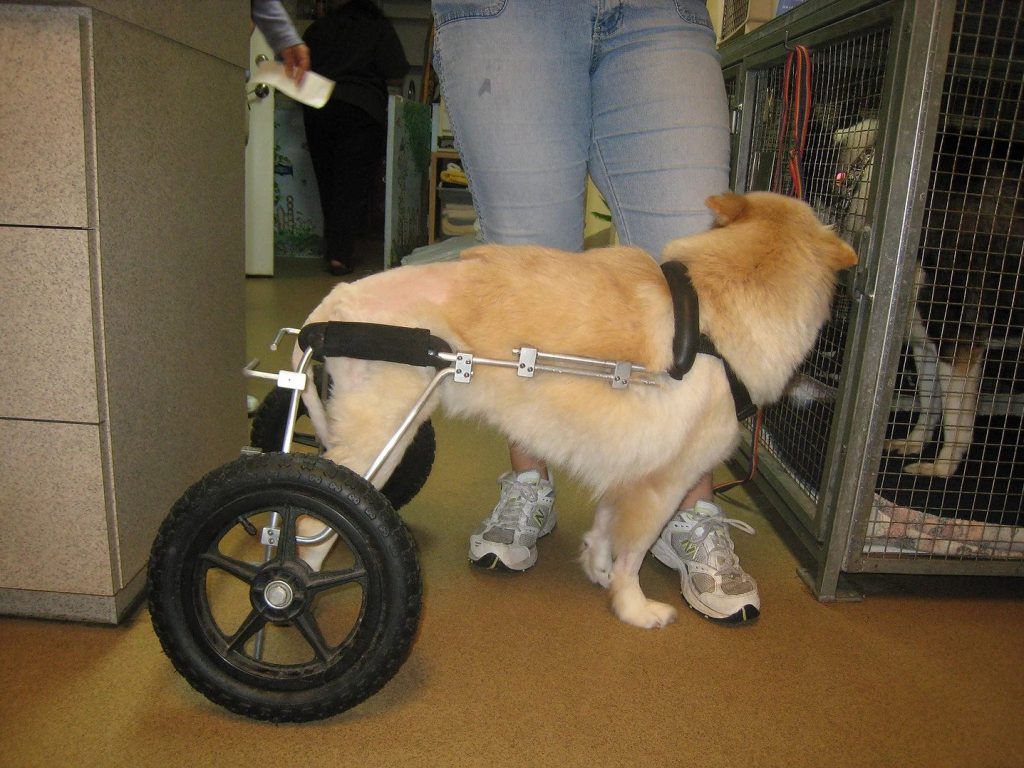 Dog with Wheel Assistance | Pawsitively Unleashed Performance Canine Rehabilitation and Conditioning